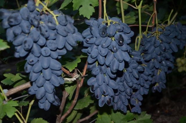 сорт винограда Академик