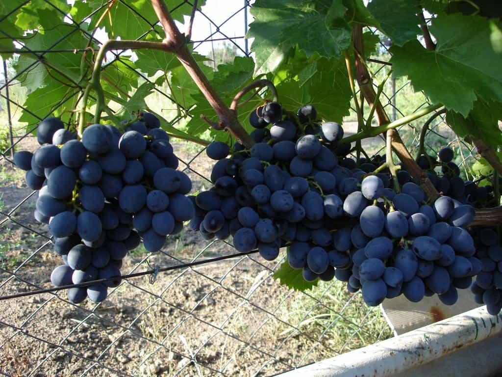 фото винограда Гала
