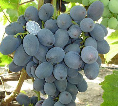 сорт винограда Гала