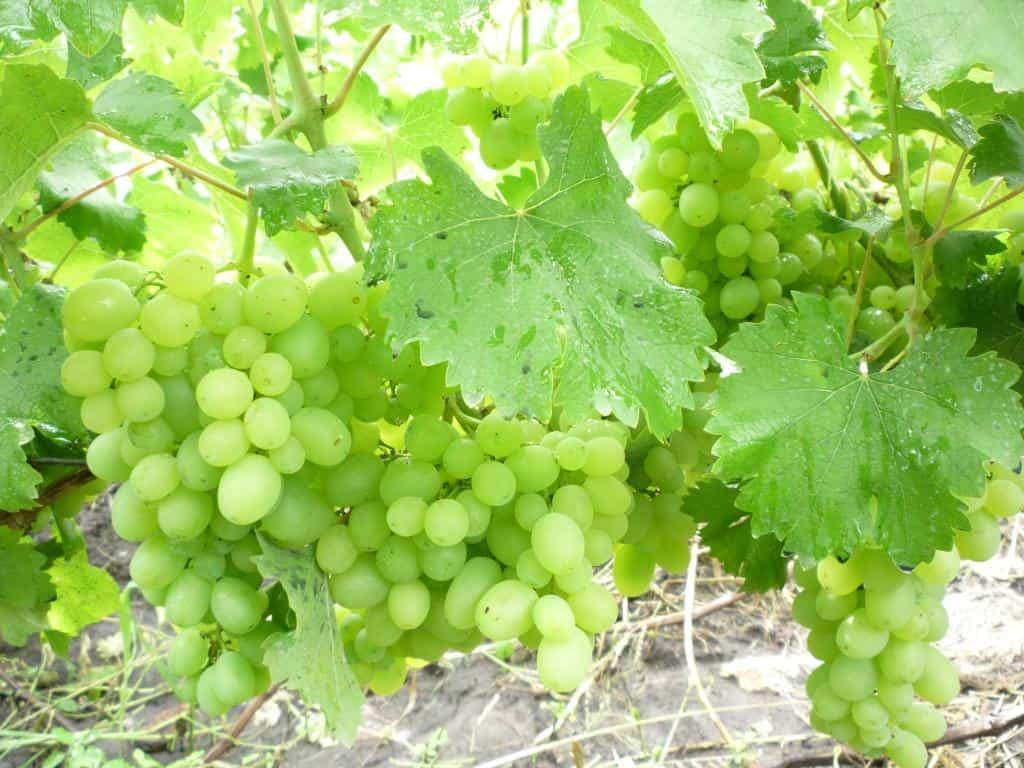 сорт винограда Гарольд