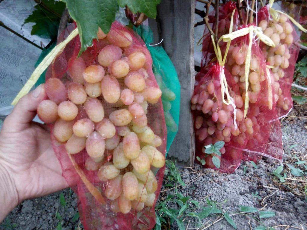 конце июня виноград виктор описание сорта фото отзывы мобильных устройствах вещь