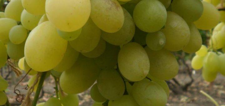 Сорт винограда Вива-Айка