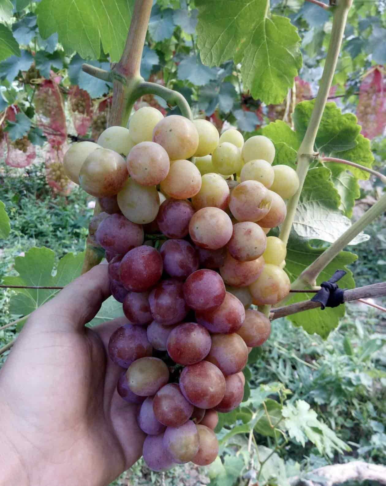 виноград Королёк