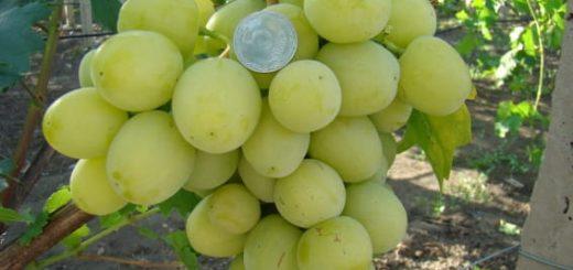 виноград Дарья