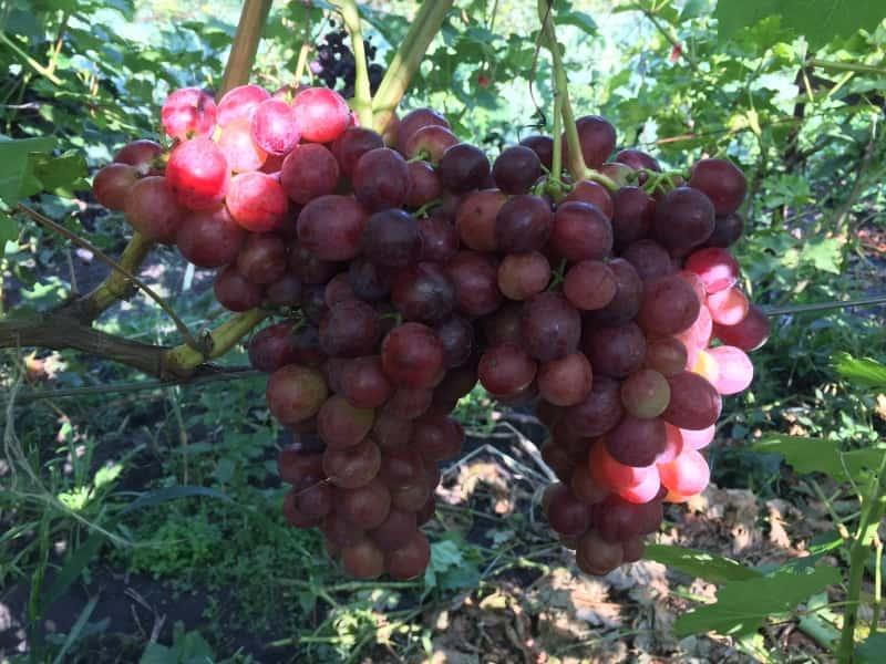 виноград Дарвика