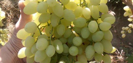 сорт винограда Долгожданный