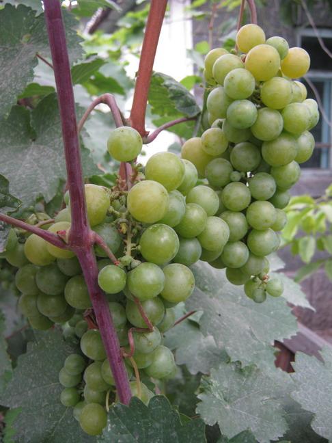виноград Киргизский ранний