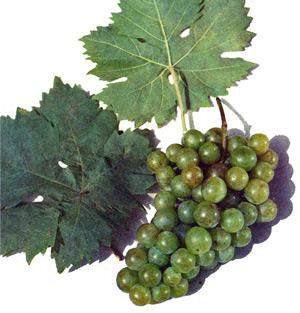 сорт винограда Киргизский ранний