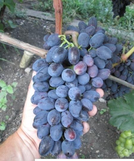 сорт винограда Кодрянка