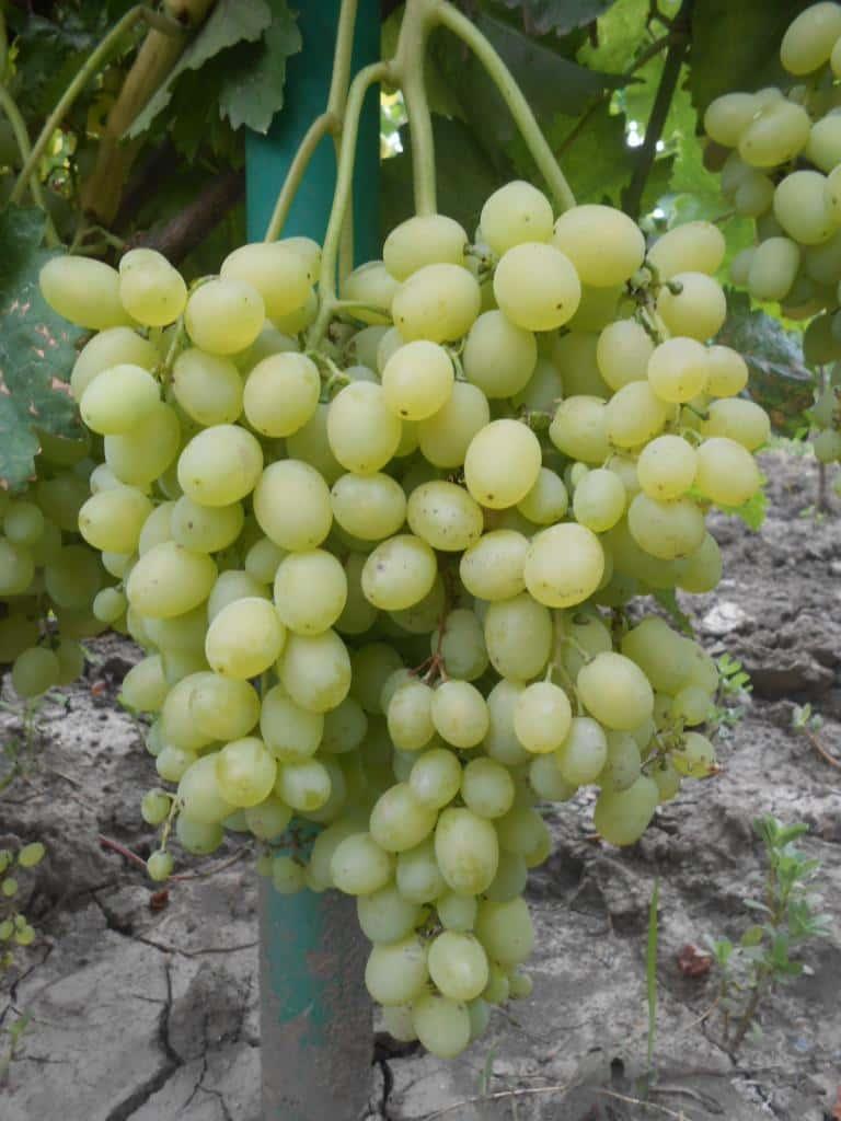 виноград Краса Дона