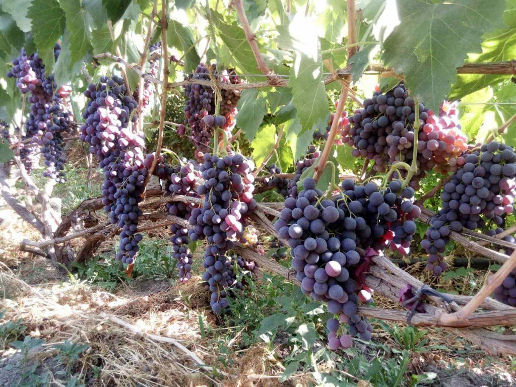 фото виноград