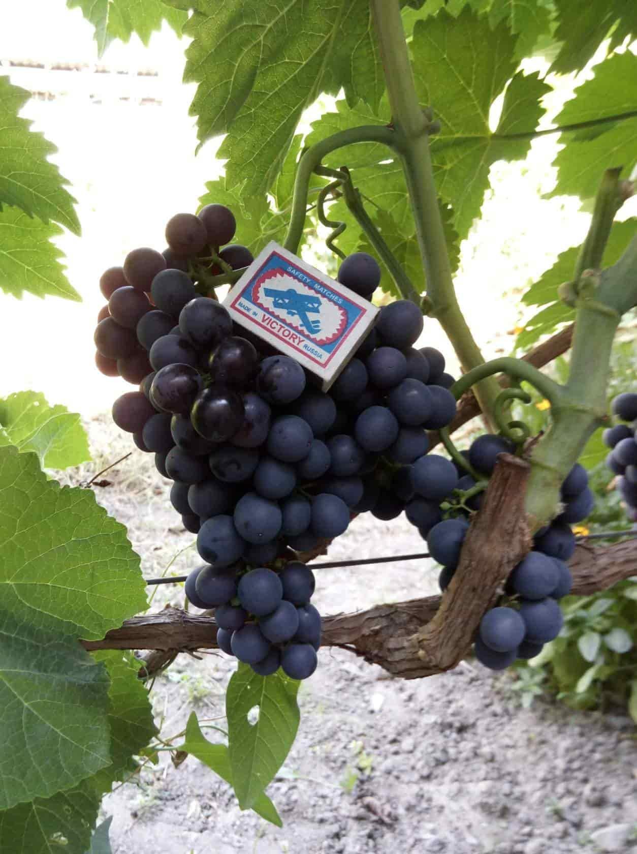сорт винограда Жибек