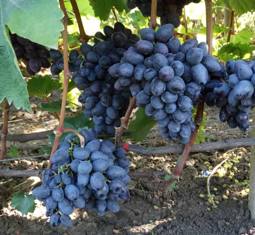 сорт винограда Краса Балок