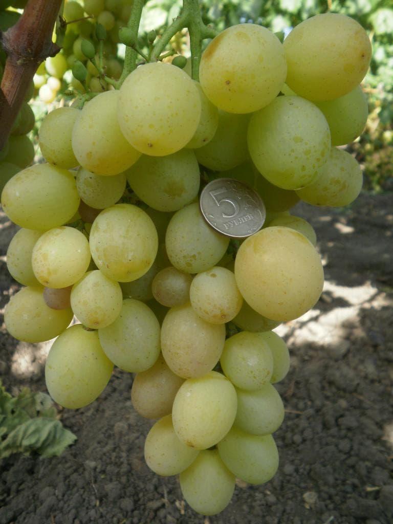 сорт винограда Лия.