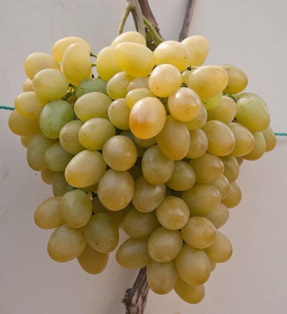 сорт винограда Мускат Диёвский