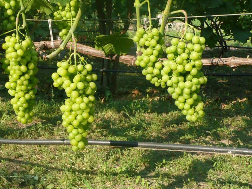 сорт винограда мускат янтарный