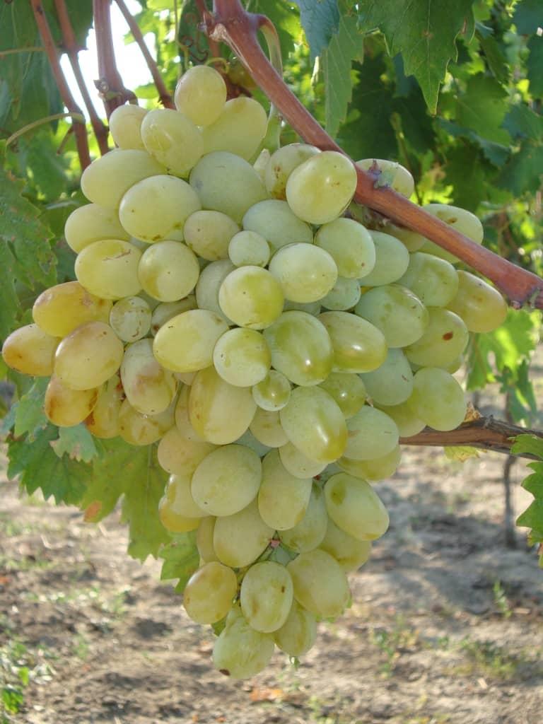 сорт винограда Новый Подарок Запорожью