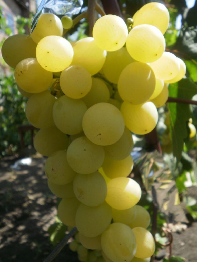 сорт винограда Озон