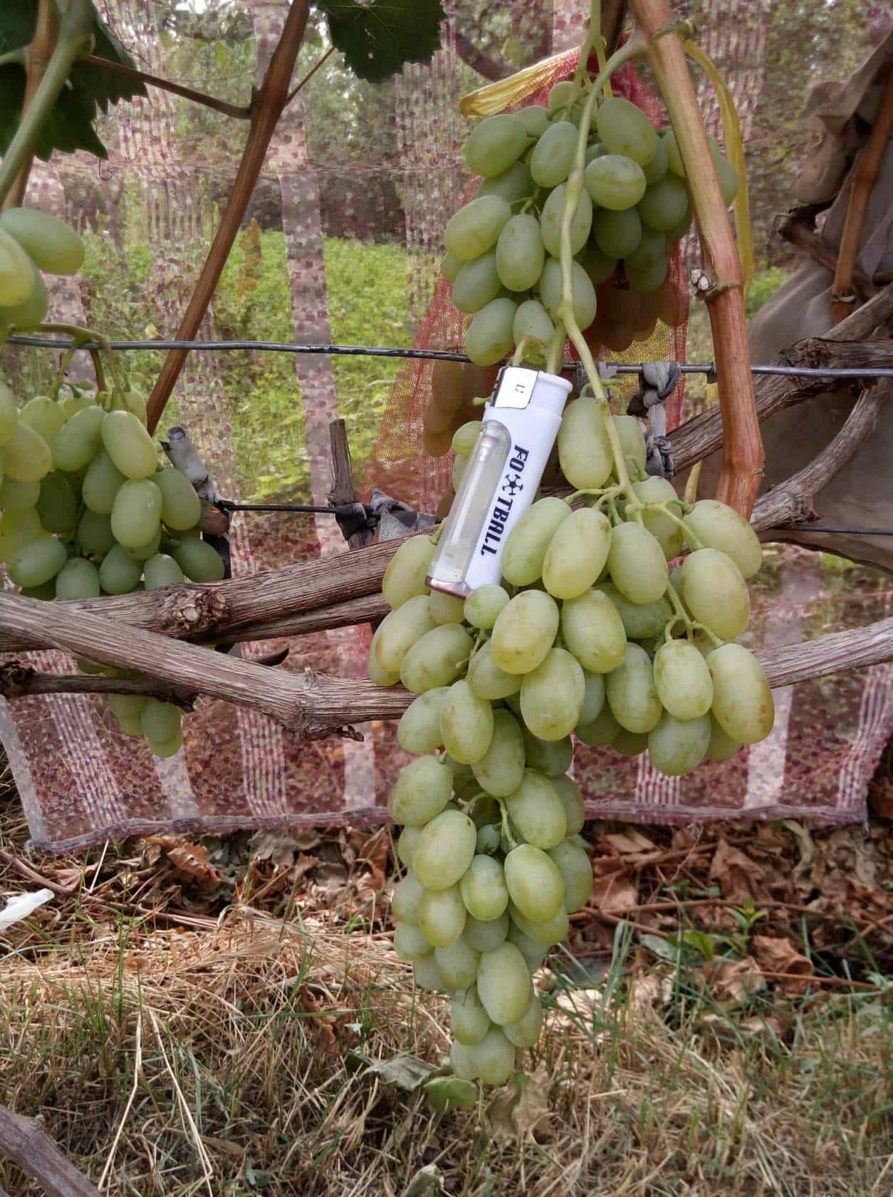 сорт винограда Хусайне белый