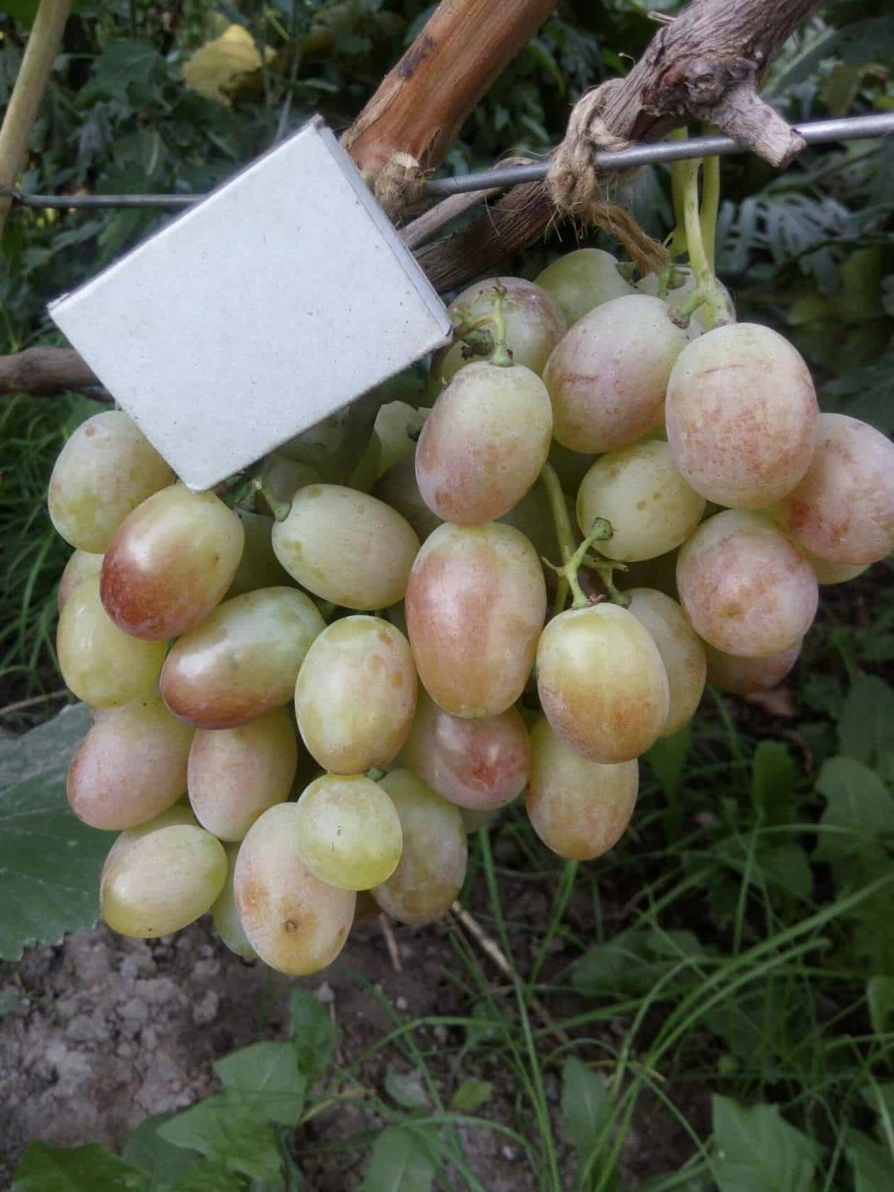 виноград Хусайне золотой