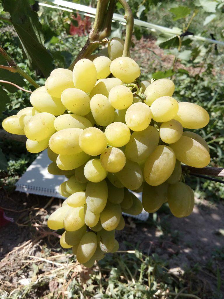 сорт винограда Самородок