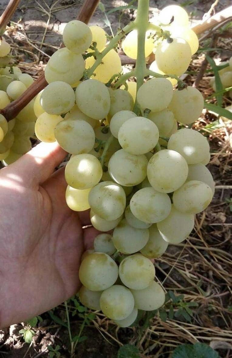 сорт винограда Сенатор