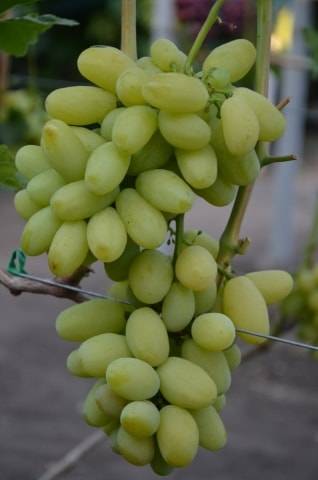 сорт винограда Сицилия