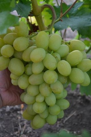 сорт винограда Синдикат