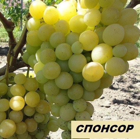 сорт винограда Спонсор