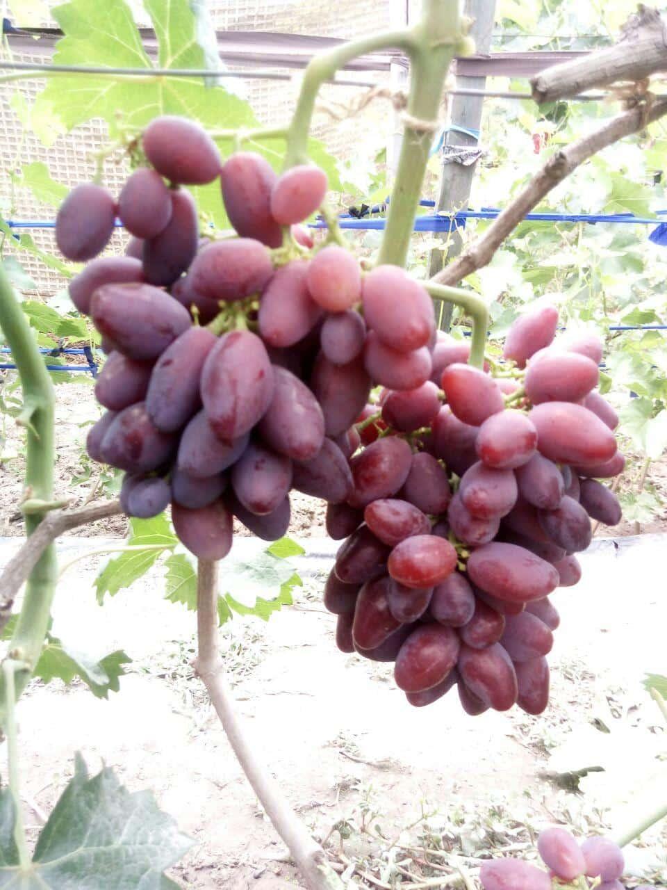 сорт винограда Талдун