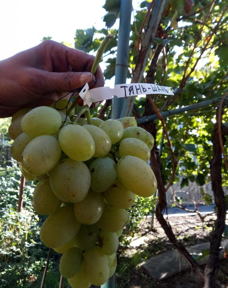 сорт винограда Тянь-Шань