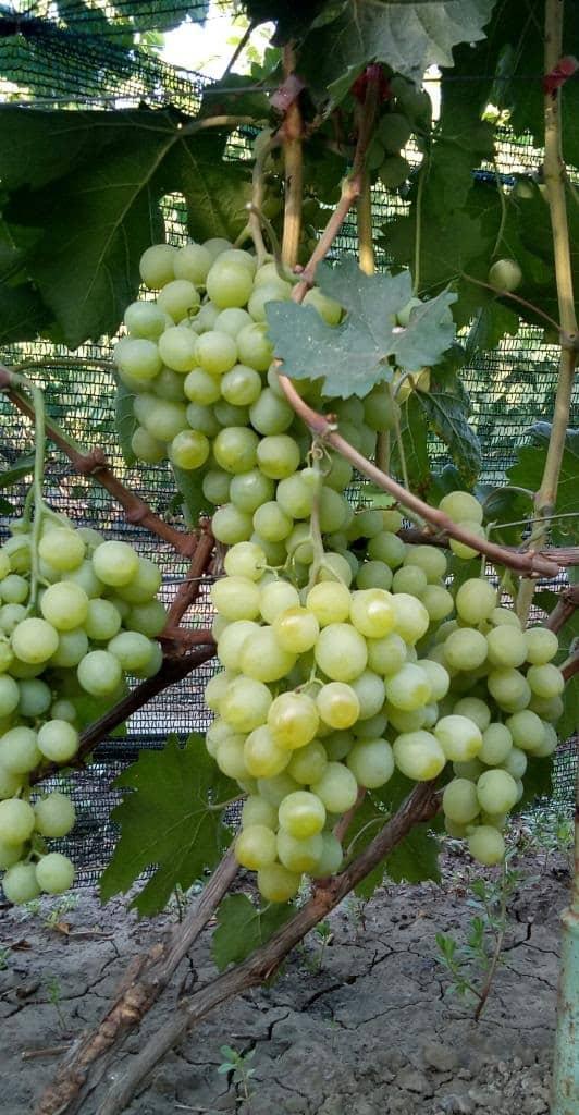 сорт винограда Тройка