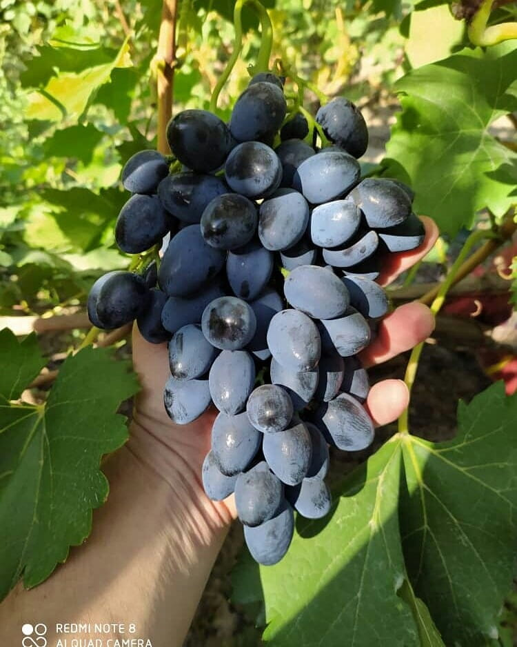 сорт винограда Надежда АЗОС