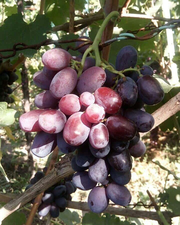 сорт винограда Ичкимар