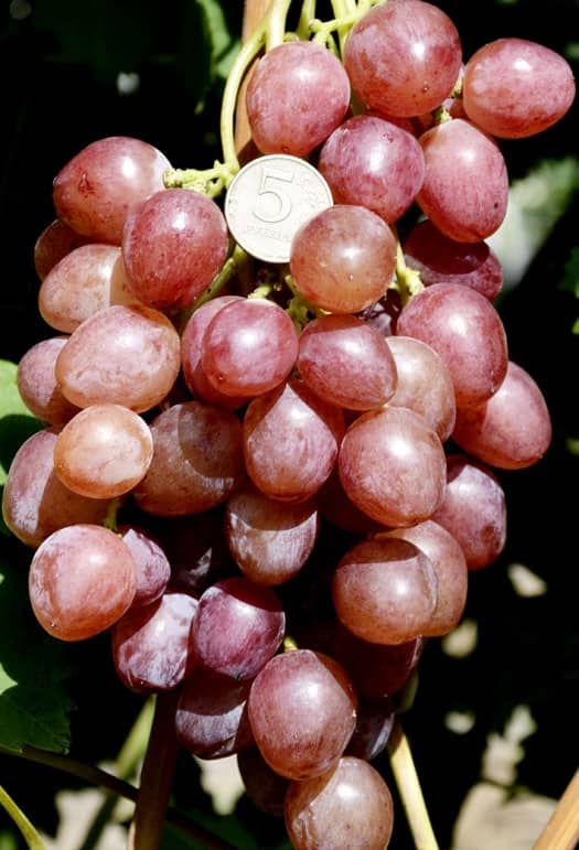 сорт винограда Искра