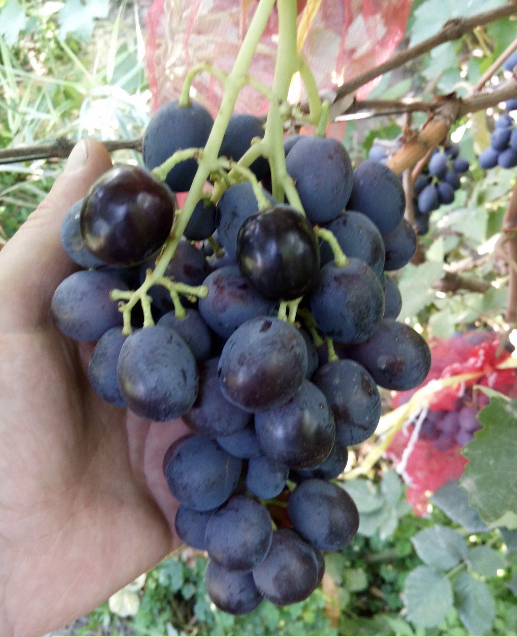 сорт винограда Джанджал Кара