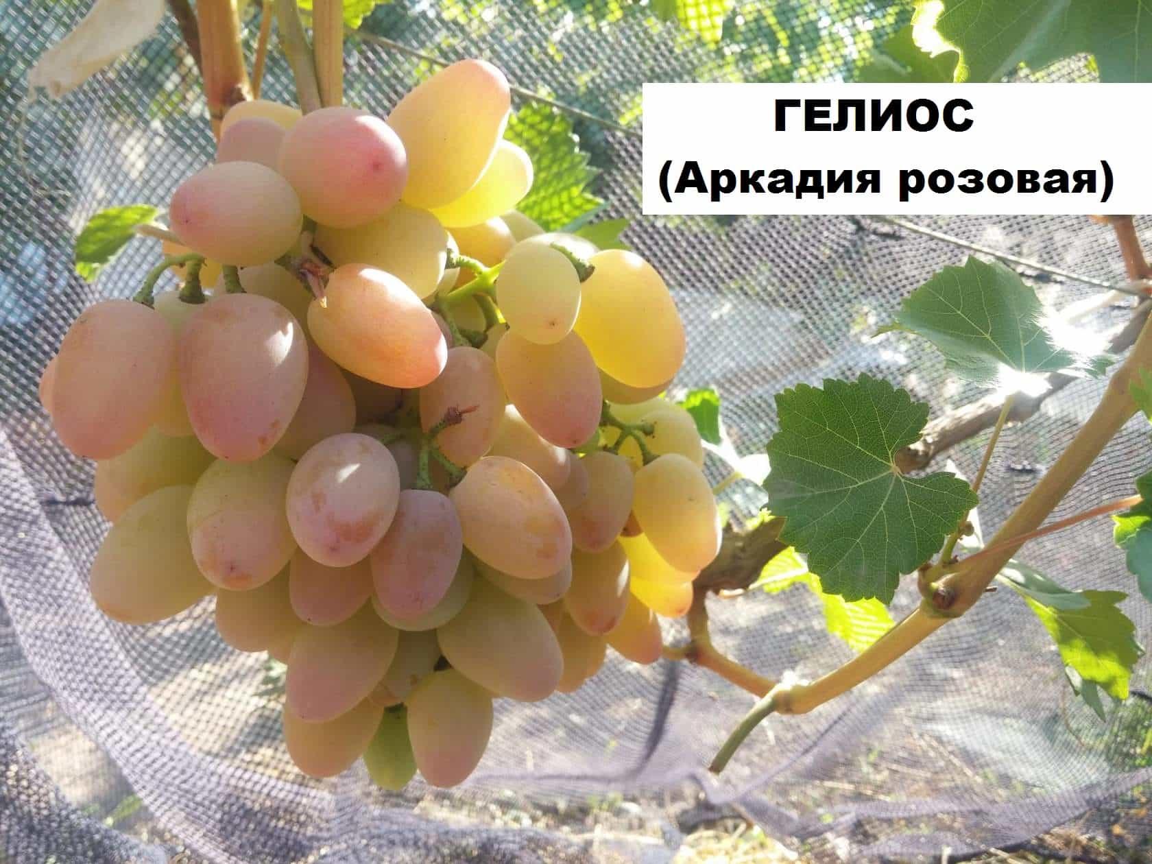 сорт винограда Гелиос