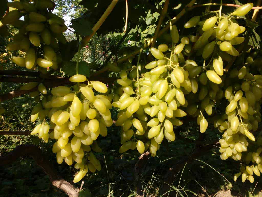 виноград Голд фингер