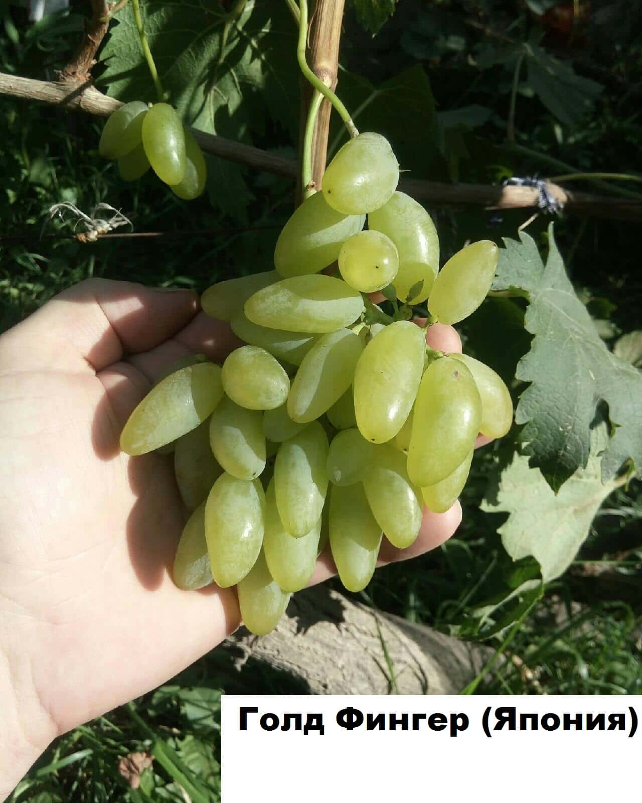 сорт винограда Голд фингер