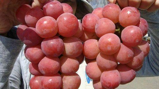 сорт винограда Горби