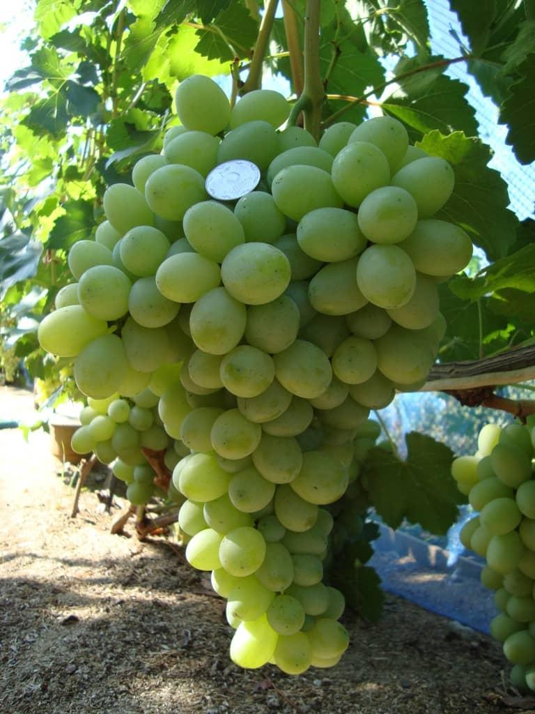 сорт винограда Благовест