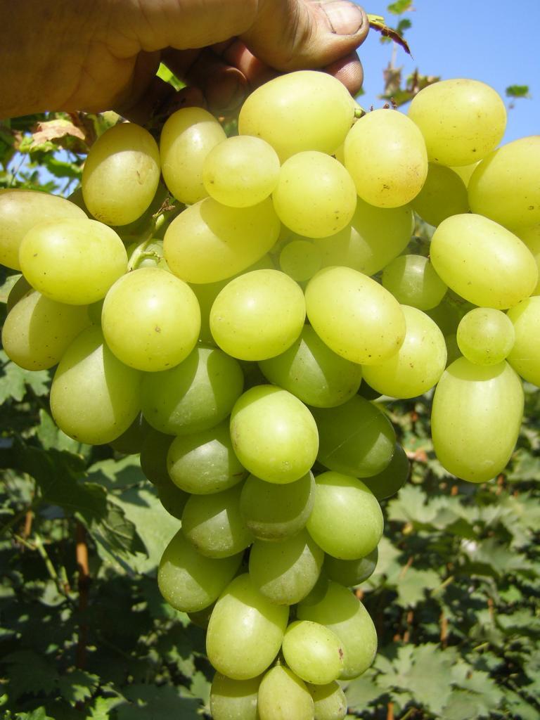 сорт винограда Брестовица