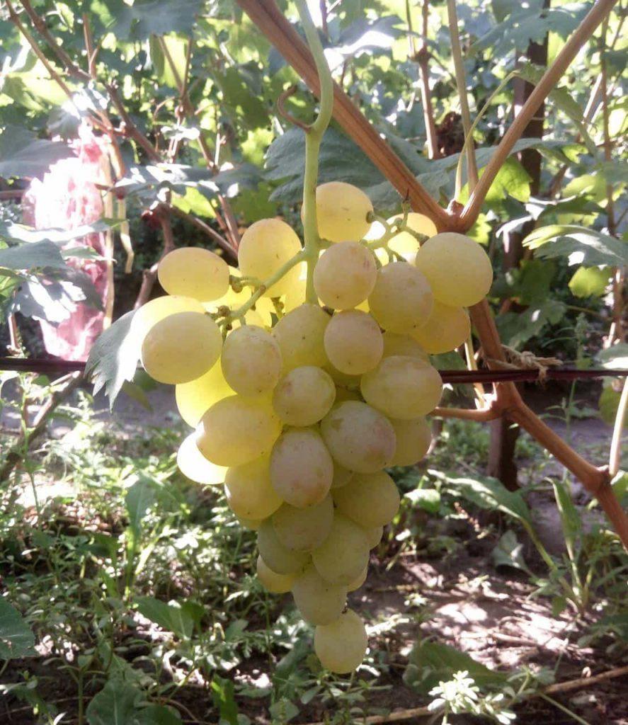 сорт винограда Аист