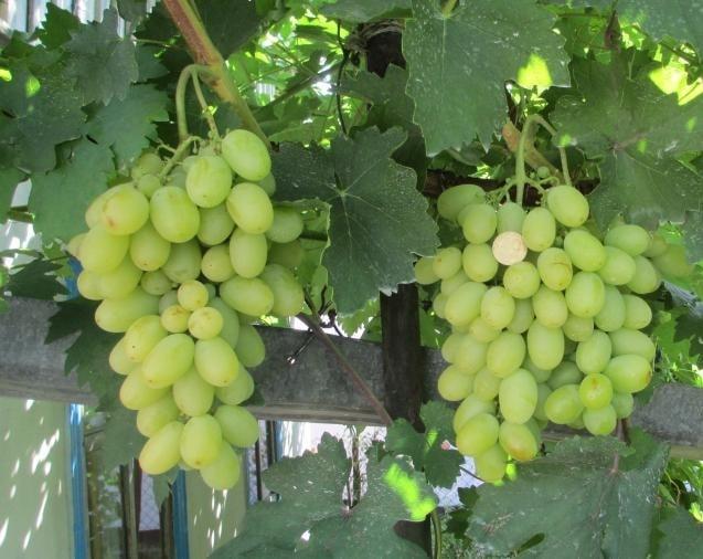 виноград Брестовица