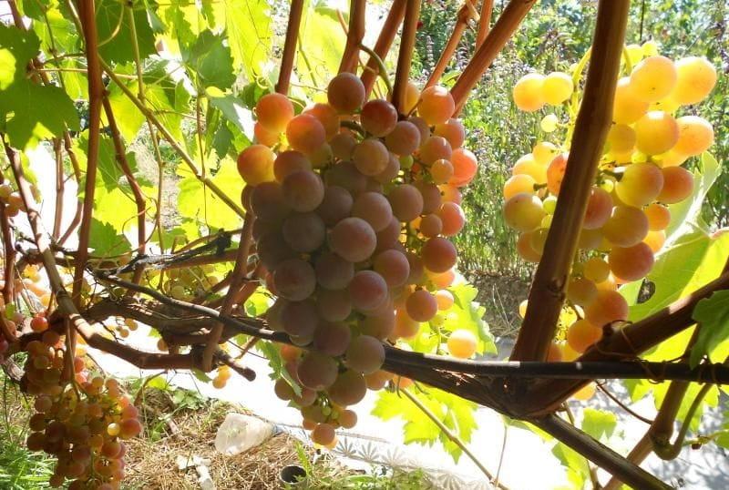 виноград Кызыл-таттуу
