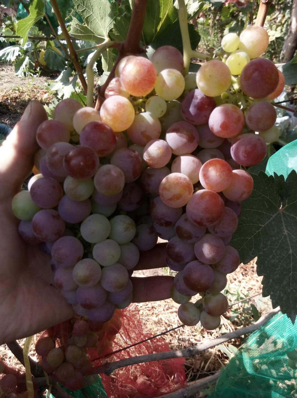 сорт винограда Кызыл-таттуу
