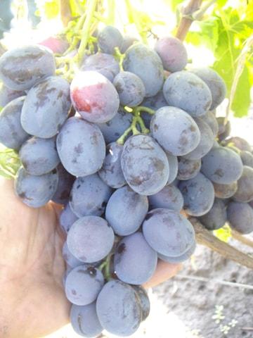 сорт винограда Мирный