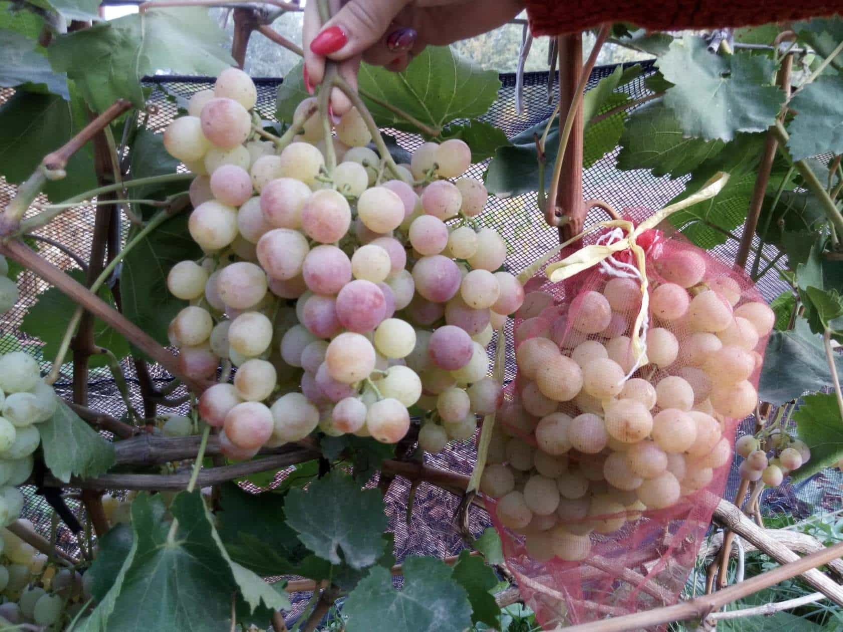 сорт винограда Нимранг