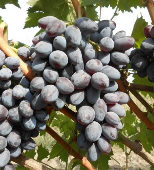 сорт винограда советский