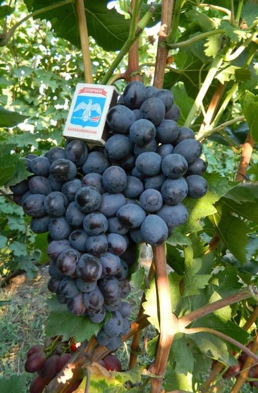 сорт винограда Осенний королевский